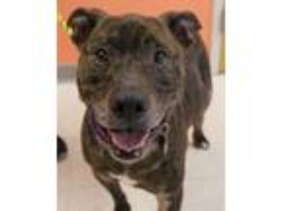 Adopt Andrew a Pit Bull Terrier