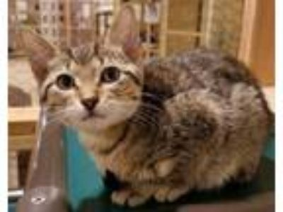 Adopt Buzz a Brown or Chocolate Domestic Shorthair / Domestic Shorthair / Mixed