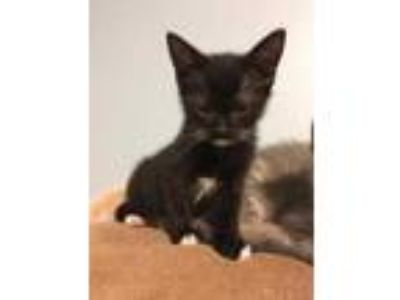 Adopt Bad Hair Day a All Black Domestic Shorthair / Domestic Shorthair / Mixed