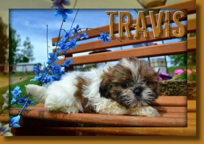 Travis Male Shihtzu
