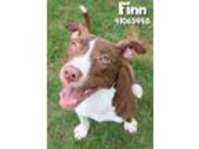 Adopt Finn a Brown/Chocolate American Pit Bull Terrier / Mixed dog in Gulfport