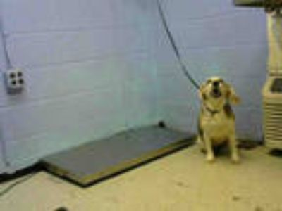 Adopt SARAH a Tricolor (Tan/Brown & Black & White) Beagle / Mixed dog in