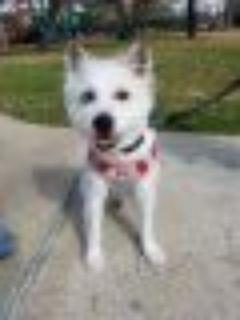 Kobe West Highland White Terrier Westie - Bichon Frise Dog