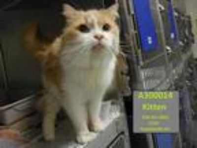 Adopt KITTEN a Orange or Red Tabby Domestic Shorthair / Mixed (short coat) cat