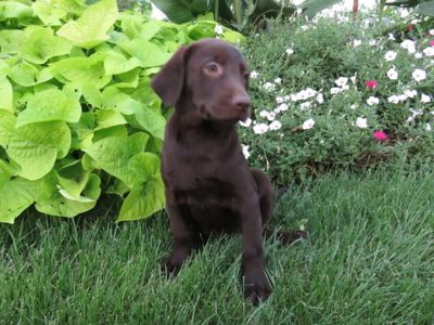 Labrador Retriever PUPPY FOR SALE ADN-94140 - Chocolate Lab Puppy