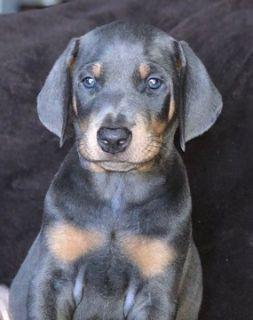 Doberman Pinscher PUPPY FOR SALE ADN-64341 - Beautiful Male Blue Doberman Pinscher