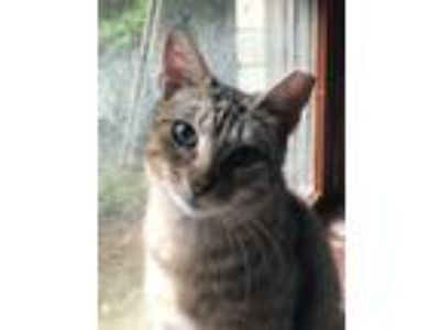 Adopt Flower a Tan or Fawn Tabby Domestic Shorthair (short coat) cat in