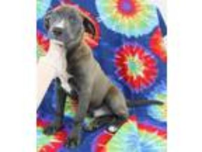 Adopt Oakley a Gray/Blue/Silver/Salt & Pepper American Pit Bull Terrier / Mixed