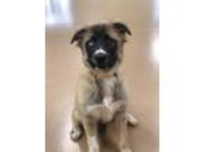 Adopt Mary Puppins a German Shepherd Dog, Great Pyrenees