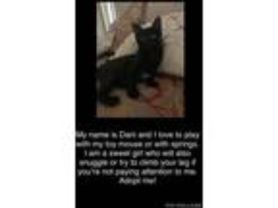 Adopt Dani a Black (Mostly) Domestic Shorthair (short coat) cat in Plant City