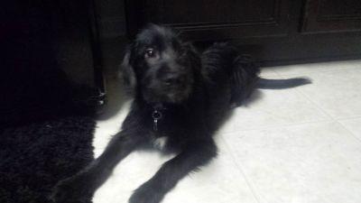 6 month schnauzer / yorkie mix puppy
