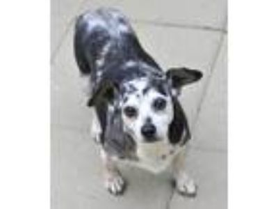 Adopt Tammy a Black - with Gray or Silver Dachshund / Mixed dog in Siler City
