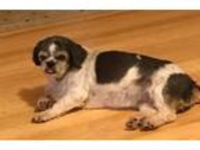 Adopt Bella Bella a Gray/Blue/Silver/Salt & Pepper Shih Tzu / Mixed dog in