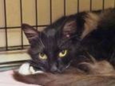 Adopt Veronica a Domestic Long Hair, Maine Coon
