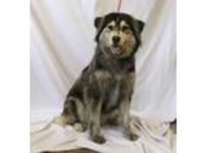 Adopt Brinley a Shepherd, Mixed Breed