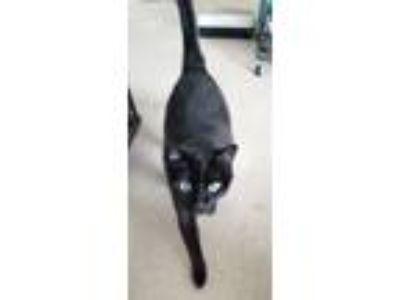Adopt Kitty a All Black Domestic Shorthair cat in Las Vegas, NV (25548601)