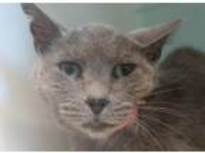 Adopt Liiberty a Gray or Blue Domestic Shorthair / Mixed (short coat) cat in