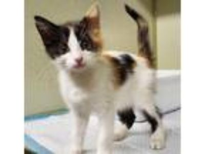 Adopt Becky-kitty a Calico or Dilute Calico Calico / Mixed (short coat) cat in