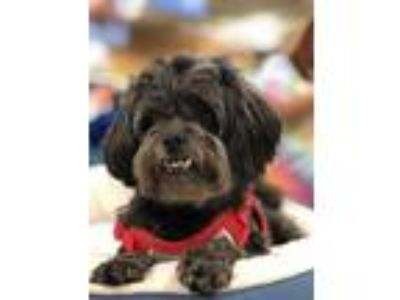 Adopt Jake - In Foster in Rocky Mount, NC a Shih Tzu, Poodle