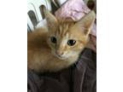 Adopt Phoenix a Orange or Red Tabby American Shorthair / Mixed (short coat) cat
