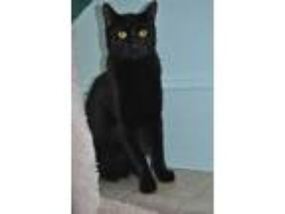 Adopt Hamlet a Domestic Short Hair