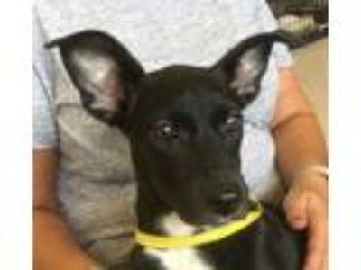 Adopt Buttons a Black - with White Dachshund / Mixed dog in Preston
