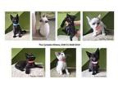 Adopt The Cyclades Kittens a Domestic Short Hair, Siamese