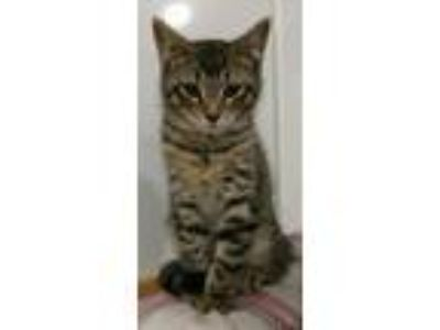 Adopt Norbert a Domestic Short Hair