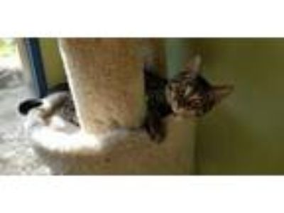 Adopt Jolie a Gray, Blue or Silver Tabby Domestic Shorthair / Mixed (short coat)