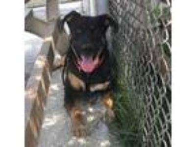 Adopt Hank a Black - with Tan, Yellow or Fawn Shepherd (Unknown Type) / Mixed