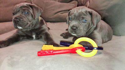 Cane Corso PUPPY FOR SALE ADN-90637 - Cane Corso Puppies