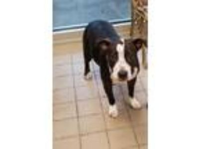 Adopt Melanie a Black American Pit Bull Terrier / Mixed dog in Burleson