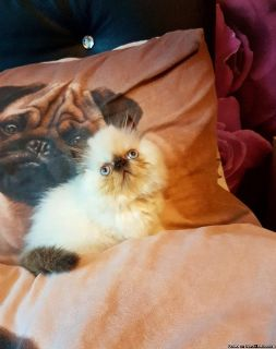 Only very very sweet Stunning Colour Point Blue Eyed Persian Kittens for lovely home