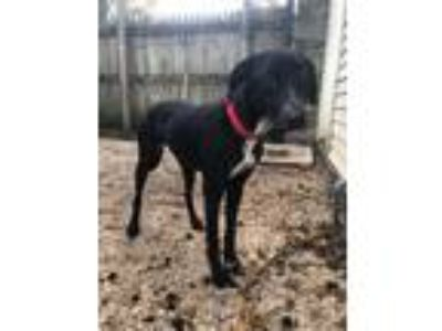 Adopt COOPER a Black - with White American Staffordshire Terrier / Labrador