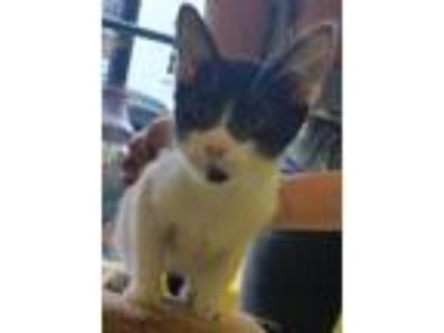 Adopt Spencer Baby a American Shorthair