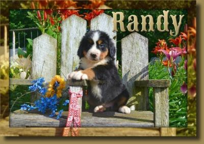 Randy Male Bernese Mountain Dog AKC