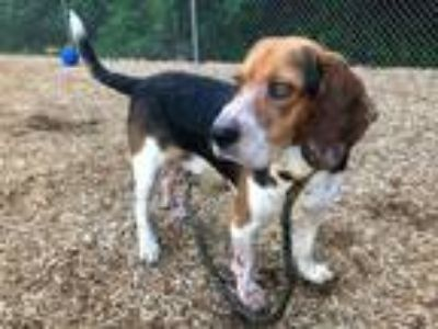 Adopt a Brown/Chocolate - with Black Basset Hound / Mixed dog in Charlotte