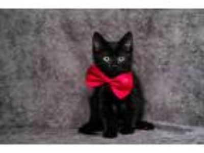 Adopt Kittie 2 a All Black American Shorthair (short coat) cat in Santa Monica