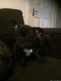 Anderson Milkish male and female french bulldog puppies for sale