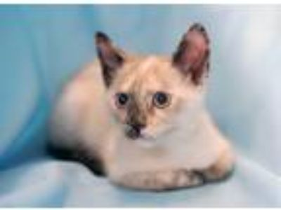 Adopt Lyanna a Cream or Ivory (Mostly) Siamese / Mixed (short coat) cat in