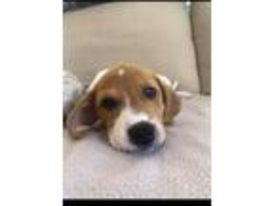 Adopt Daisy and Flower a Jack Russell Terrier