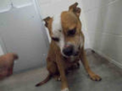 Adopt DASHA a Brown/Chocolate - with White American Pit Bull Terrier / Mixed dog