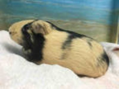 Adopt BUTTERCUP a Black Guinea Pig / Mixed small animal in Agoura, CA (25557395)