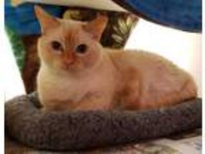 Adopt Calcifer 764-19 a Cream or Ivory Siamese / Domestic Shorthair / Mixed cat