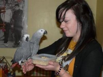 18 months old African grew parrots