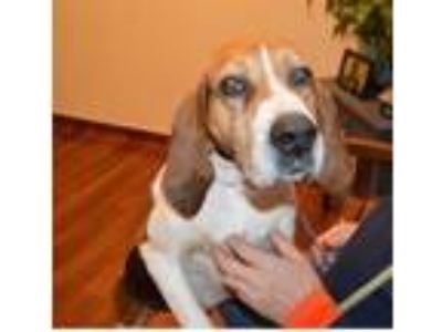 Adopt Riley a Tricolor (Tan/Brown & Black & White) Treeing Walker Coonhound /