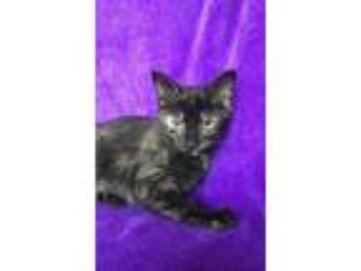 Adopt Sabrina a All Black Domestic Shorthair / Domestic Shorthair / Mixed cat in