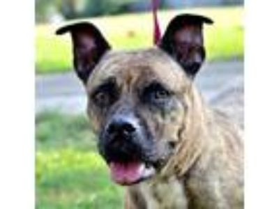 Adopt Isis a Tan/Yellow/Fawn American Staffordshire Terrier dog in Fort Smith