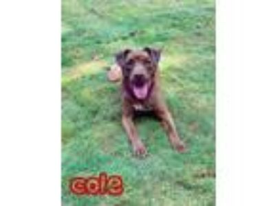Adopt Cole a Labrador Retriever