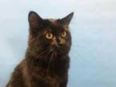 Adopt Hatter a All Black Domestic Mediumhair / Domestic Shorthair / Mixed cat in